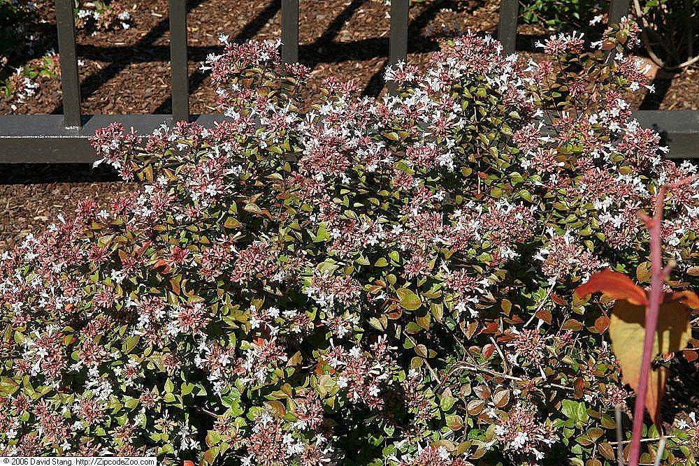 Glossy Abelia drought tolerant shrub