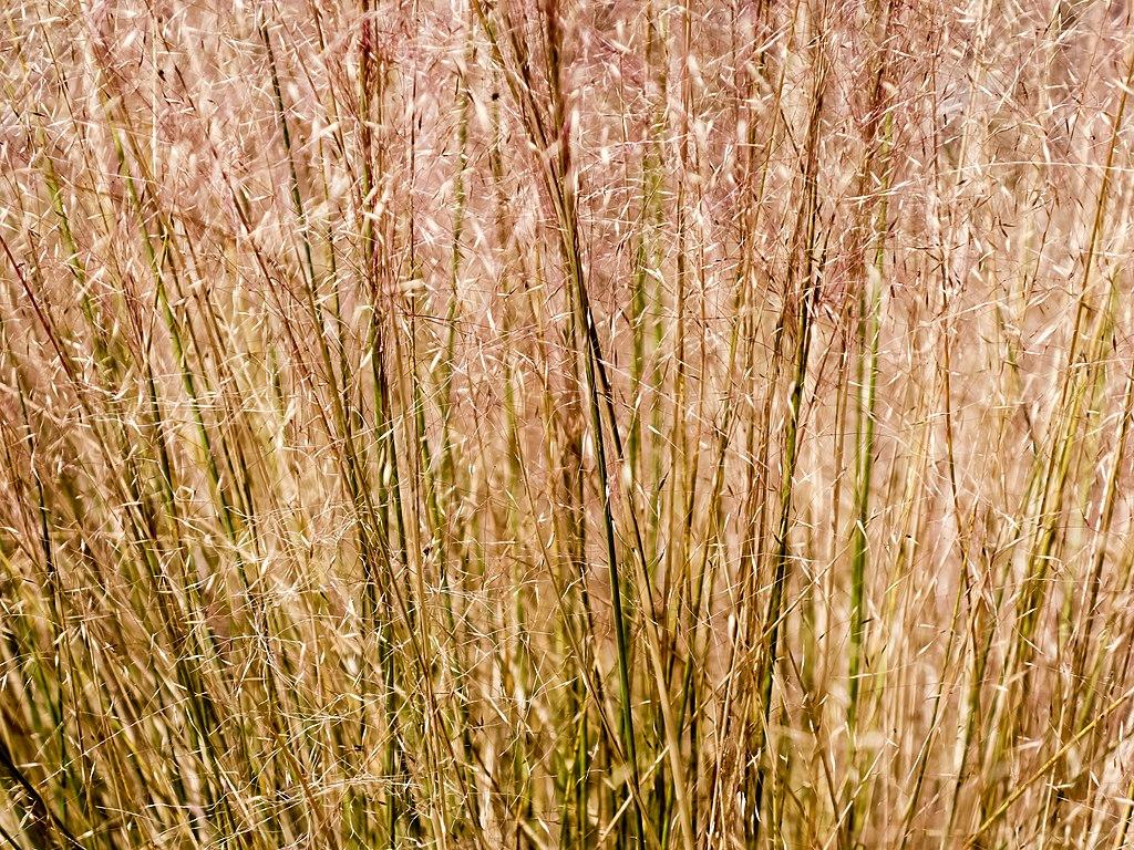 Gulf Muhly perennial grass