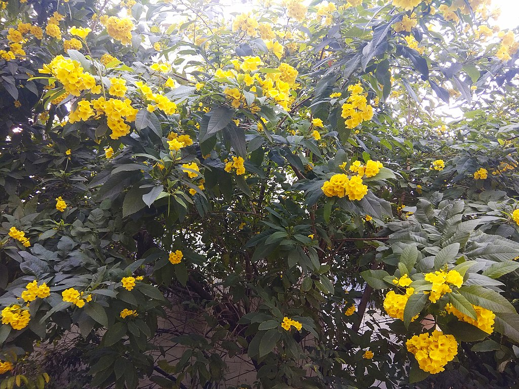 Yellow Bell plant