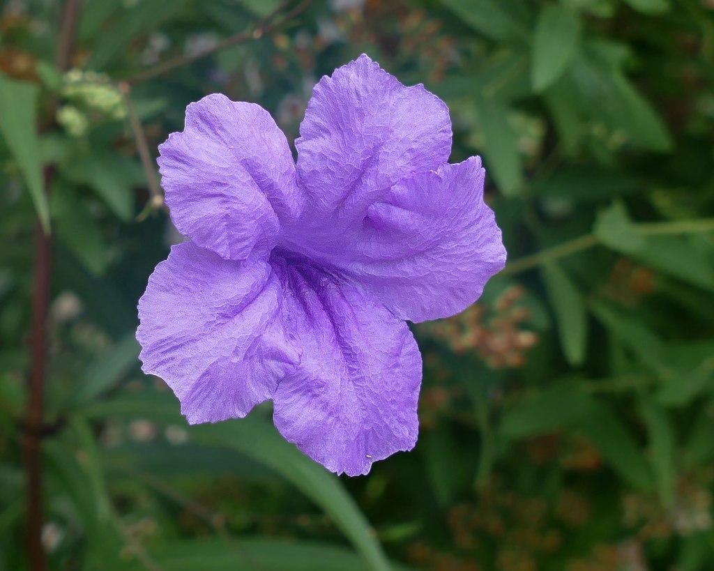 Wild Petunia Ruellia