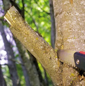 Proper pruning to maintain tree health